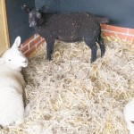 Our Growing Lambs