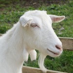 Donate for our Goats
